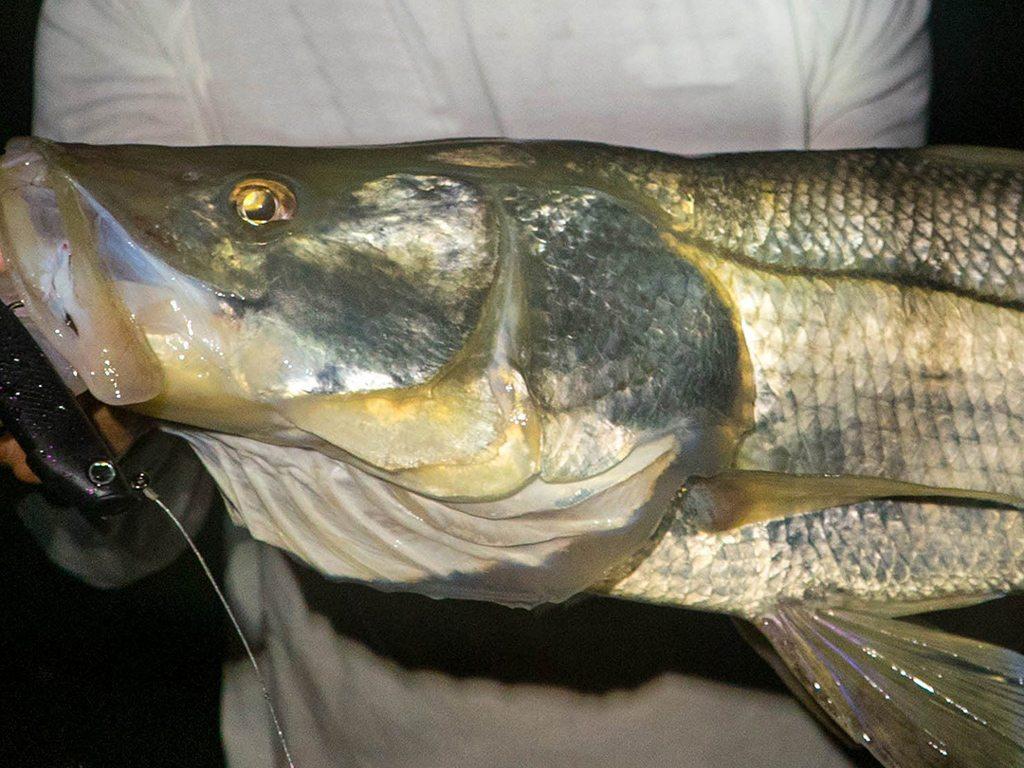Ss monster snook caught on brilliant green fish light for Green monster fishing light
